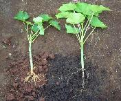 Seedlings grown with (right) and without (left) biochar (Courtesy International Biochar Initiative [IBI])